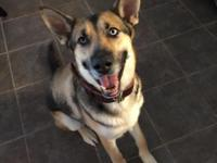Diesel is a 2 year old neutered male German shepherd