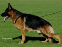 Excellent quality,Imported German Shepherd young