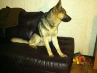 Grizzly is almost a year old male shepherd (intact) he