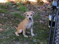 3 female German Shepard mix puppies will be needing