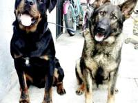 TENGO 8 PERRITOS GERMAN SHEPHERD MIX ROTTWEILER