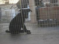 Solid Black German Shepherd female, AKC. 4 mos. old.