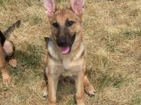 Playful 5 month old male German shepherd dog. Vet
