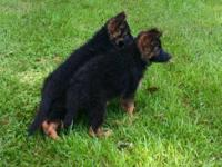 Stunning Long Coat female German Shepherd pup for sale.