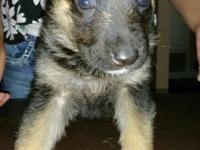 German Shepherd puppies, 8 wks old, 1st shots and