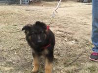 We are offering German Shepherd puppies for sale. These