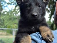 German Shepherd Puppies 4 Female available (all