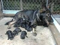 expecting stunning puppies 100 % working lines for the