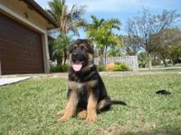 100 % German lines AKC papers, Black and Red puppies