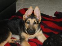 I have four black & tan German Shepherd puppies, 2 male