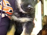 Pure Breed German Shepherd Puppies will be available to