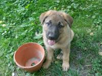 Hi we have some really cute German shepherd pups for