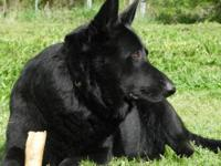 AKC German Shepherd puppies. Sire solid black old style