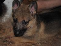 Beautiful German shepherd pups for sale. Repeat