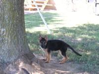 We have two litters of black and red german shepherd
