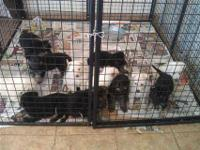 Akc German Shepherd Puppies These puppies are