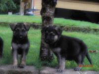Only two males Purebred AKC German Shepherd puppies