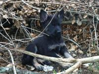 10 week old AKC German Shepherd puppies with Health