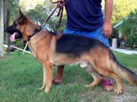 Beautiful, huge, purebred German Shepherd puppies for