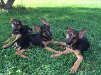 AKC German Shepherd puppies. Male & Female Black & red
