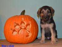 We have Full Breed AKC German Shepherd Puppies. A