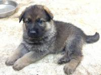We have 3 male German Shepherd Puppies and 1 female