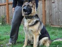 We have 4 AKC German shepherds Puppies Left From a
