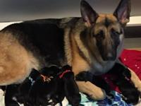 We have 4 outstanding German Shepherd Puppies available