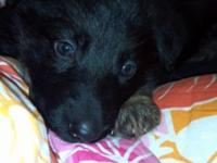 Akc German Shepherd young puppies for sale. Mom and