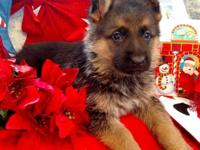 Beautiful litter of akc registration German Shepherd
