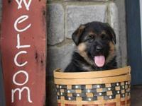AKC papered,vaccinated,dewormed GERMAN SHEPHERD PUPPIES