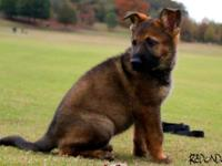 Holiday Special $$REDUCED PRICE$$. German Shepherd