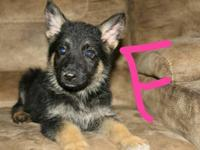 4 German Shepherd puppies left. 1 male and 3 females.