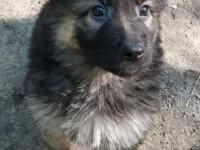 Ready for forever homes. 6 male German shepherd