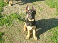 Black & red American showline German Shepherd puppies.