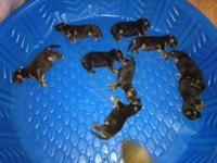 I have 9 german shepherd puppies they were born