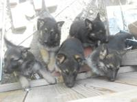 I have 5 Beutiful Male German Shepherd Puppies, ready