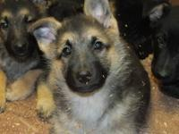 German Shepherd puppies, AKC Registered, born