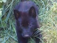 Solid Black and sable puppies are available. They are