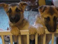 German Shepherd puppies, born October 17, 2012,