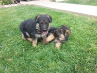 have 7 purebreed German shepherd puppies that are 6