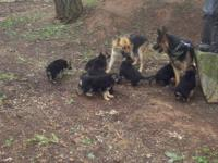 GERMAN SHEPHERD PUPPIES we have 9 great looking pups