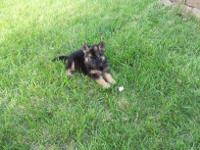 AKC &CKC German Shepherd puppies for sale,1st shots &