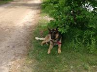 I have a one beautiful female German Shepherd puppy for
