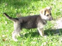 Beautiful purebred german shepherd puppies; black and