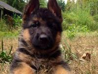 Welcome to Himmel Eck German Shepherds. We offer german