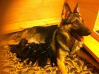 AKC registered German Shepherd puppies. Sire OFA hip