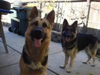 Beautiful male and female German Shepherd puppies, born