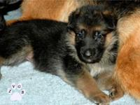Hello.. We Have a Beautiful 6 Weeks old German Shepherd