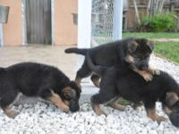 GERMAN SHEPHERD PUPPIES SHOW LINES BOTH PARENTS ARE